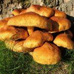 Substraty do grzybów egzotycznych
